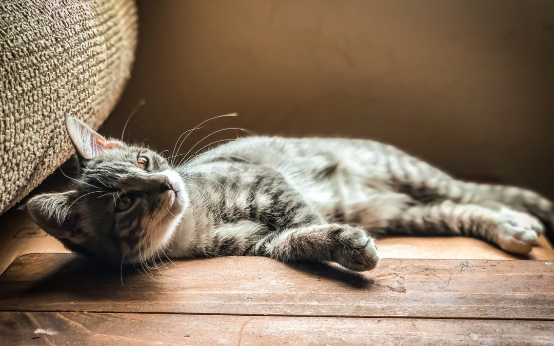 Is There a Special Diet for Hyperthyroidism in Cats?